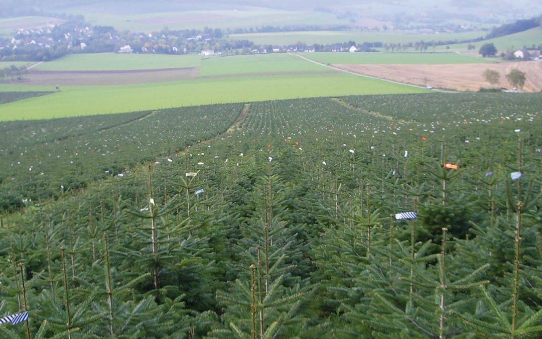 Buschig, groß und durchaus umweltfreundlich – hinter den Kulissen der Christbaumindustrie